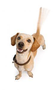 logrende haler - Begynderhold for alle hunde
